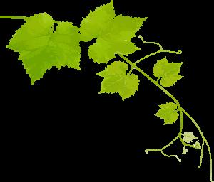 vine-branche_left